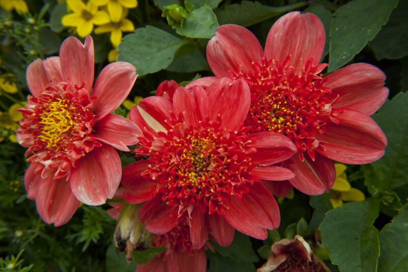 """Brio"" Hybrid Dahlia Flowers"