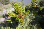 Bristlecone Pine Branch