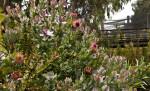 Broad Leaf Sugarbush