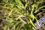 Broadleaf Sedge