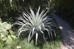 Bromeliad (Alcantarea odorata)