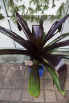 Bromeliad (Werauhia sanguinolenta) Side View