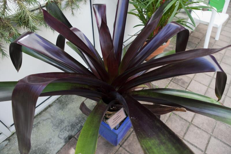 Bromeliad (Werauhia sanguinolenta)