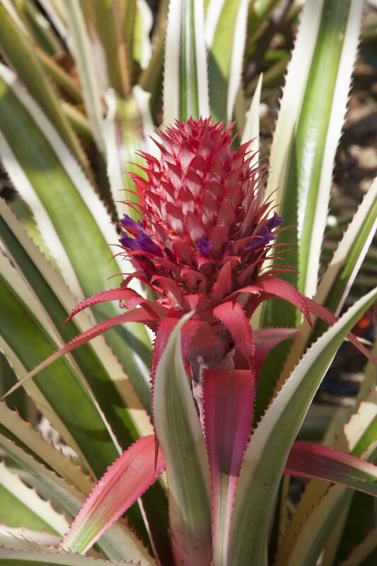 Bromeliad with a Pink Inflorescence and Ridged Leaves