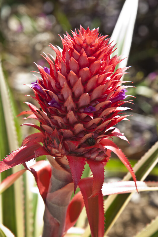 Bromeliad with a Pink Inflorescence at the Fruit and Spice Park