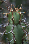 Brown and White Prickles of a Succulent Plant