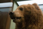 Brown Bear Head