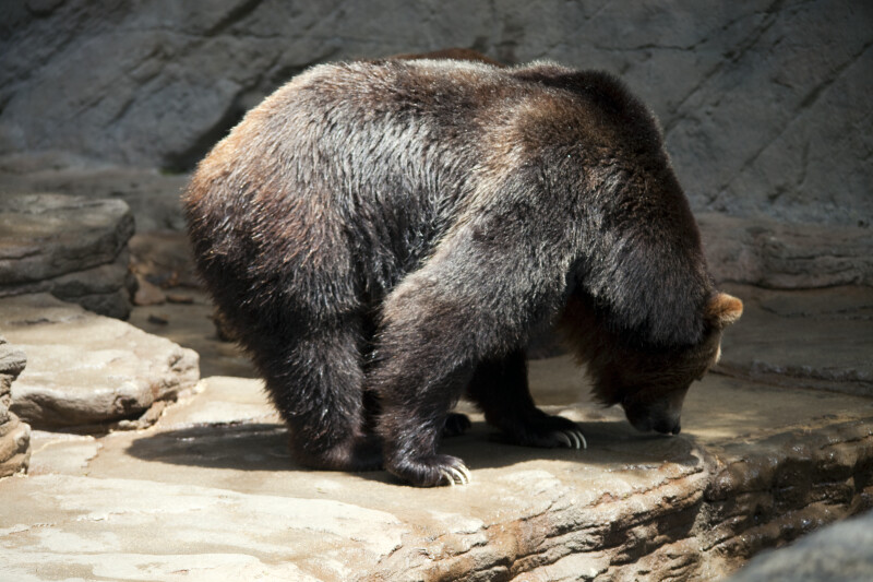 Brown Bear Sniffing