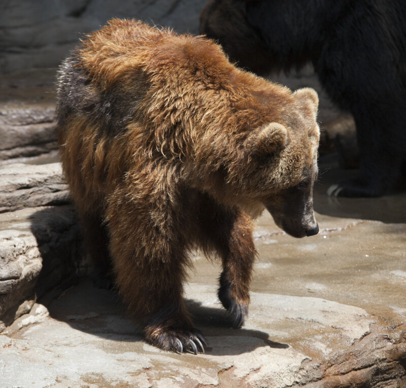 Brown Bear Turning
