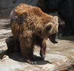 Brown Bear Turning