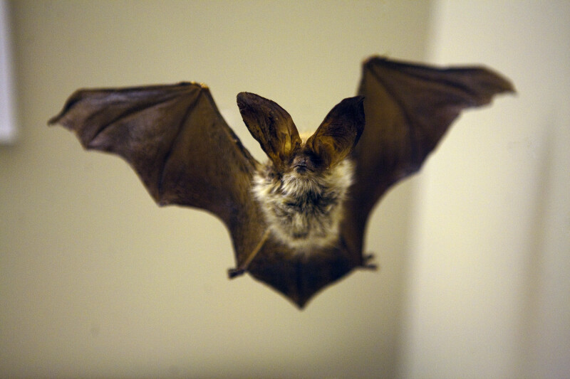 Brown Big-Eared Bat