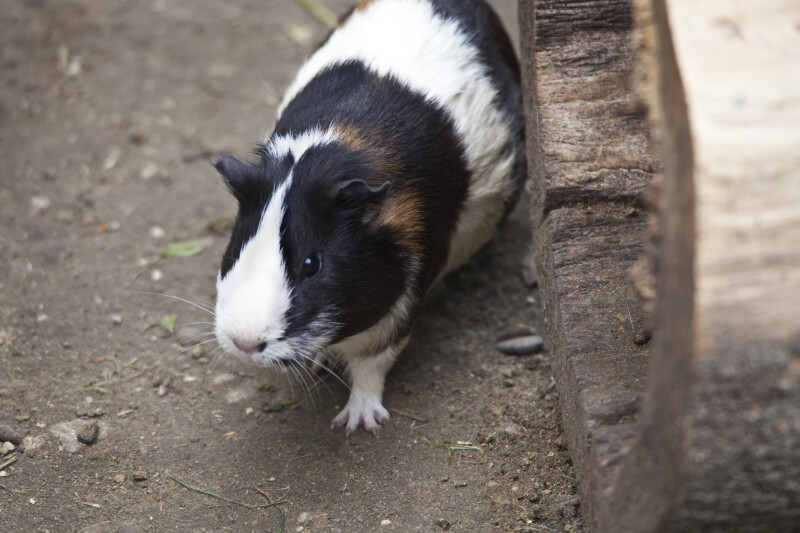 Brown, Black, and White Guinea Pig