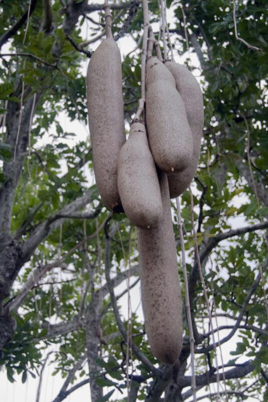 Brown, Clustered Sausage Tree Fruit