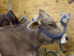 Brown Cow with Head Tied to Rope