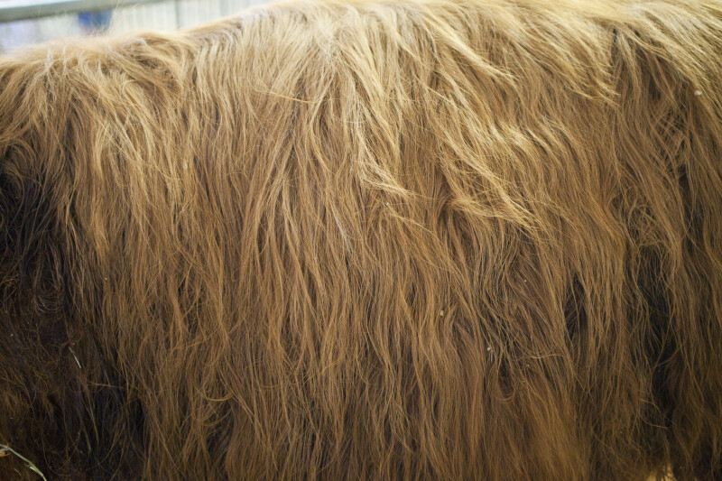 Brown Fur of a Texas Longhorn at the Florida State Fairgrounds