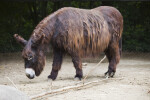 Brown, Furry Donkey