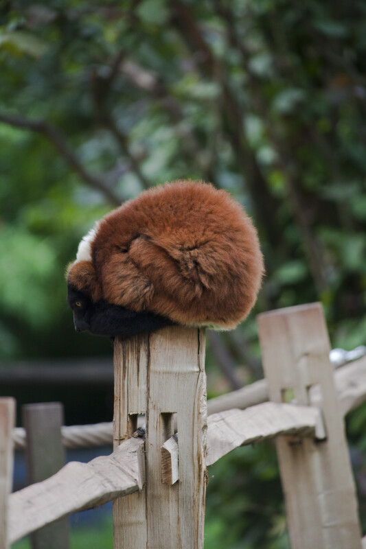 Brown, Furry Mammal Resting on Post of Wooden Fence