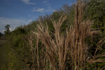 Brown Grass at H.P. Williams Roadside Park of Big Cypress National Preserve
