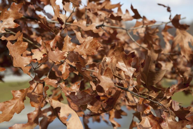 Brown Leaves of an Oak Tree at Boyce Park