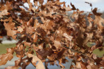 Brown Leaves of an Oak Tree at Boyce Park