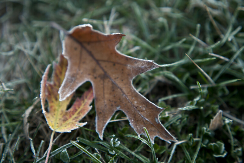 Brown Oak Leaf with Frost Around its Edges