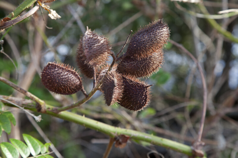 Brown, Spiny Seed Pods