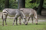 Brown Striped Zebras Foraging
