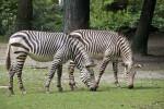 Brown Striped Zebras Foraging