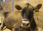 Brown Swiss Cow Laying Down