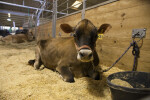Brown Swiss Cow Laying in Enclosure