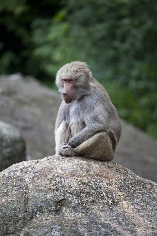 Brownish-Grey Primate Sitting