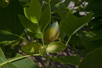 Bud and Leaves of a Tulip Tree