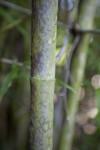 Buddha's Belly Bamboo Stalk
