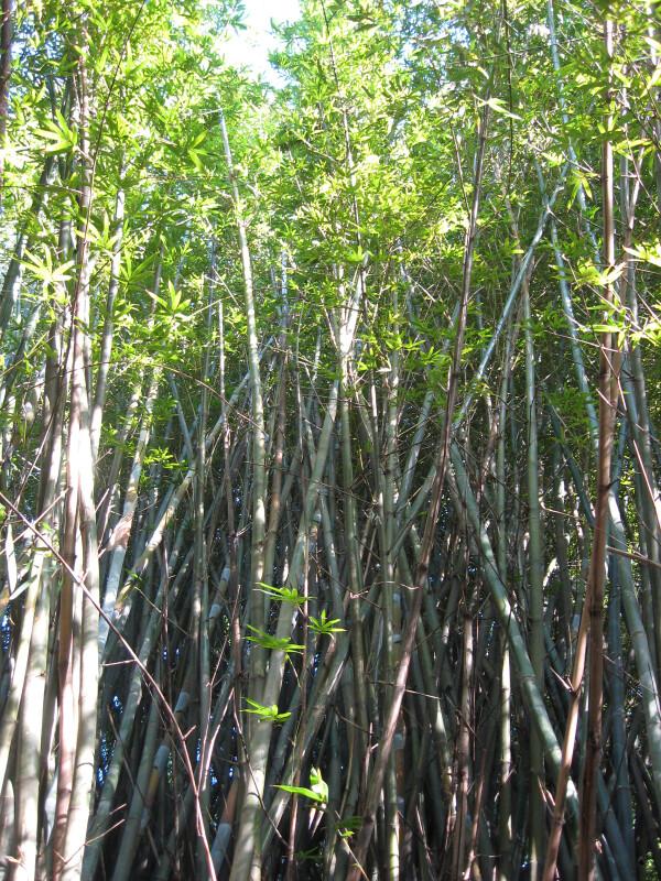 Buddha's Belly Bamboo