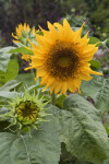 Budding and Mature Sunflowers