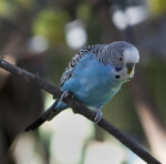 Budgies on Branch
