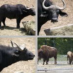 Buffalo (Bison) photographs
