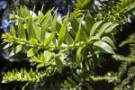 Bunya Pine Branch Close-Up