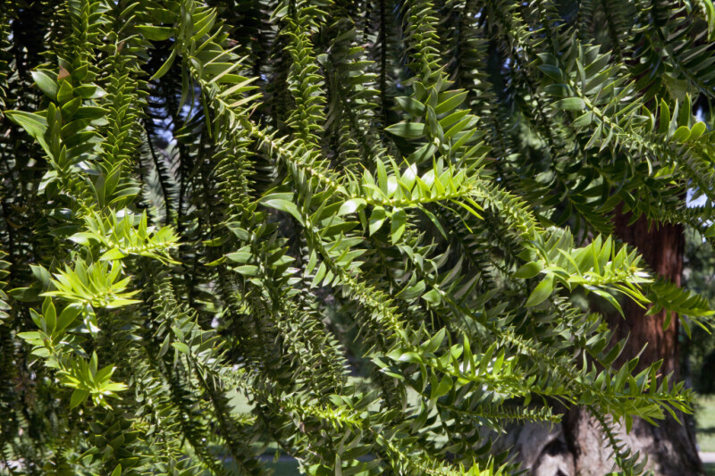 Bunya Pine Branches with Many Leaves