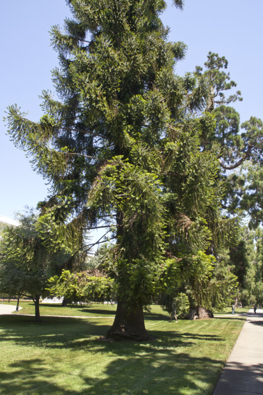 Bunya Pine Tree near Sidewalk at Capitol Park in Sacramento