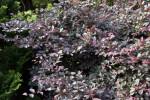 """Burgundy"" Chinese Fringe Flower"