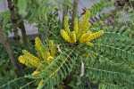 Burmese Mahonia Yellow Flowers and Green, Pinnate Leaves
