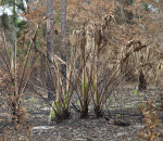 Burned Saw Palmetto
