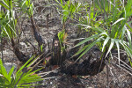 Burned Saw Palmettos