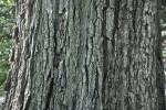 Burr Oak Bark