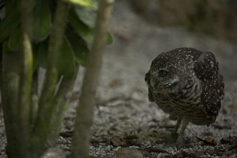 Burrowing Owl and Plant