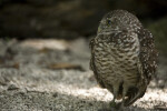 Burrowing Owl in Gravel
