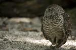 Burrowing Owl in Gravel