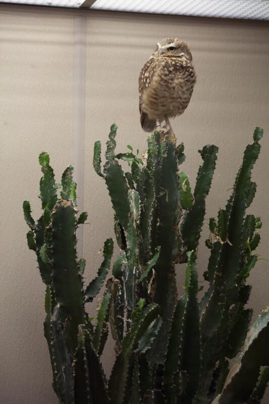 Burrowing Owl on Cactus