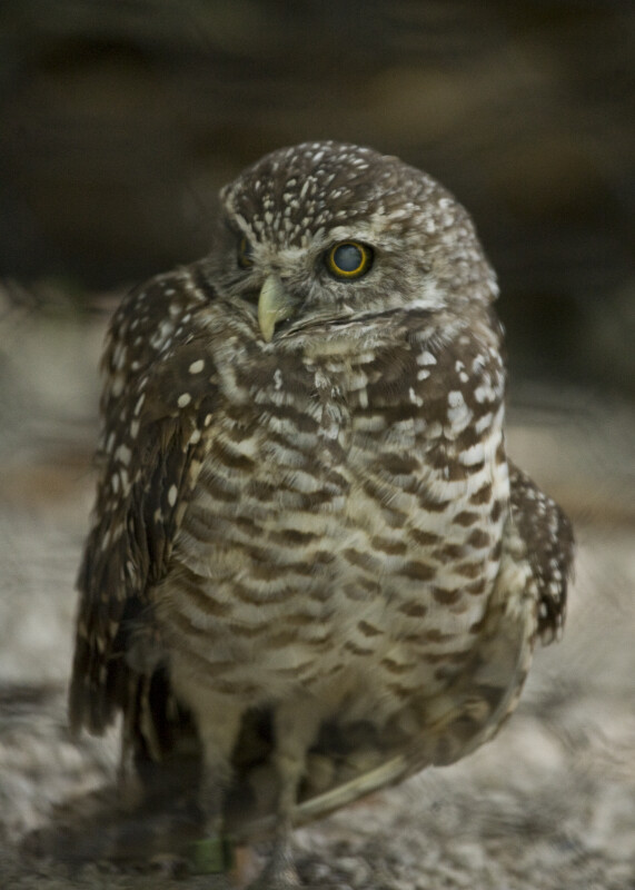 Burrowing Owl Through Mesh
